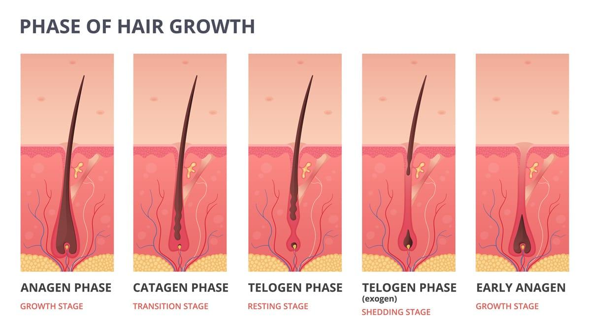 Hårets vækstcyklus